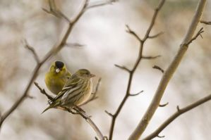 Siskins by Dunadan-from-Bag-End