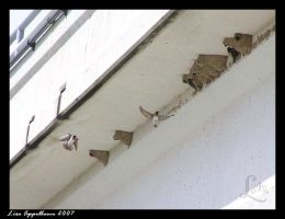 Cliff Swallows Nesting by Cillana
