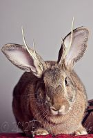 Jackalope by Escape-Photo