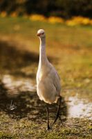 The Egret by krishvaish