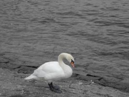 Swan in Switzerland by DarkAngeLP26