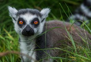 Lemur 10 by tpphotography