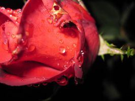 Raindrops on Roses IV by spockmou