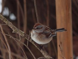 American Tree Sparrow by cove314