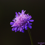 Field Scabious by Renathory