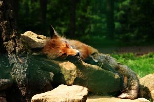 sleeping fox stock image by Nexu4