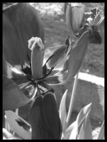 Wilted tulips by lonely--soldier