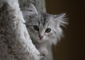 Sasha no. 1, Siberian Kitten by Mischi3vo