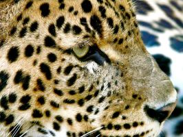 Jaguar by Alice-view
