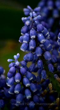 :: Blue Grape Hyacinth :: by Number12-Photography