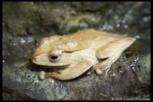Tree Frog 2 by Vamppy
