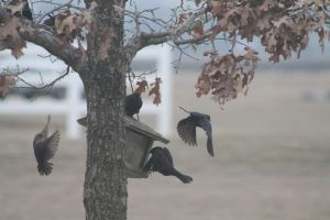 Cowbirds at the Feeder by Broadwinger