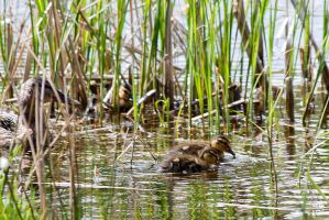 Ducklings by Brigitte-Fredensborg