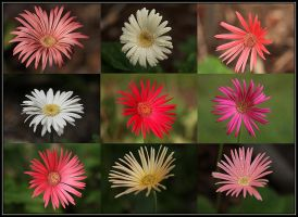 Gerbera Collage by Firey-Sunset