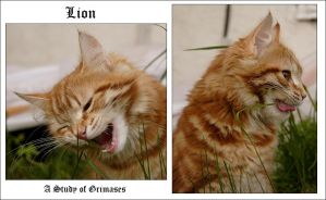 Lion: A Study of Grimases by Fishermang