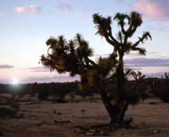Joshua Tree - Arizona Desert by collector007