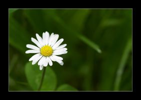only a daisy ? by selester