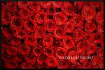 Roses by Bodhisattvacary