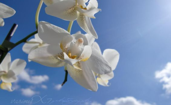 Orchid 'nd The Blue Sky by variousX7