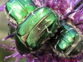Rose Chafer Beetle (Cetonia aurata) by Terrydunk