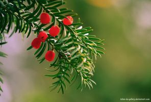 pine fruits by Iulian-dA-gallery