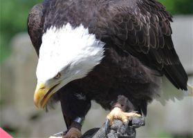 Bald Eagle by Parides