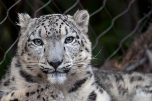 Snow Leopard 7825 by robbobert