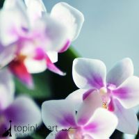 orchid ... by topinka