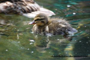 Duckling by RubintheHorse