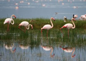 Flamingos-reflections by dillydallylisa
