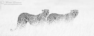 Cheetahs in Monochrome by MorkelErasmus