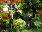 Chinzanso sacred tree by Princess-Suki-W