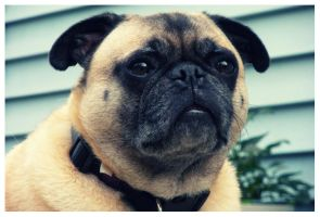 Hoover the Pug 3 by mattnagy