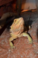 Bearded dragon - shedding period in progress by Danesippi