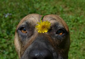 Dandelion Pup by jennalynnrichards