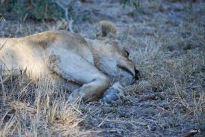 Napping lioness by SirHubris