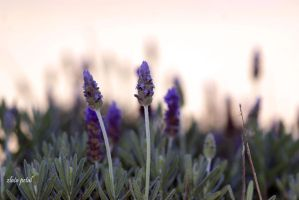 lavander plants by Zlata-Petal