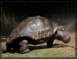 Giant Tortoise 40D0017135 by Cristian-M