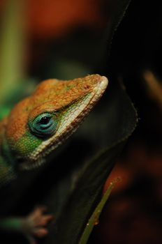 Anole III by theonlysong