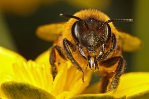 Yellow Legged Mining Bee by snomanda
