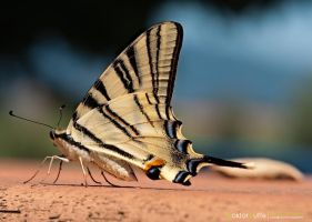 Butterfly Papilio Machaon by Stefano-Coltelli