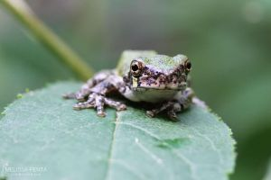 Tree Frog by mydigitalmind