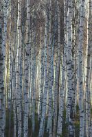 Birch Wall #2 by perost