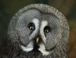 Great Grey Owl by twilliamsphotography