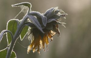 Frozen sunflower by MorNienor