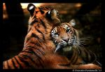 Tigers: Cuddle Time by TVD-Photography