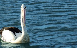 Pelican_on_the_water by jasonclaude