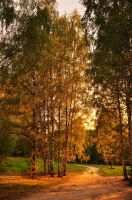 Birches by Anna-Belash