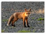 Red Fox - 3 by bp2007