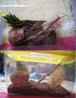 Red-Back Spider Terrarium- Simple Setup by Buggie1112